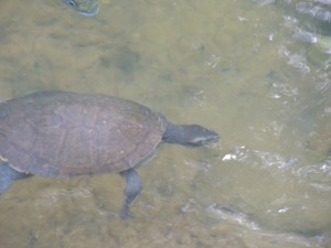Turtle at CP