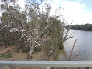 Murray River Boundry Bend 2