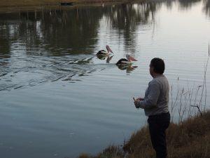 Tui feeding Pelicans